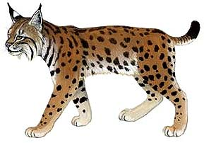http://www.indiantiger.org/wild-cats/lynx-eurasian.html